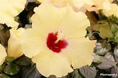 Hibiscus Fleur D Int 233 Rieur Et Jardin Plantation