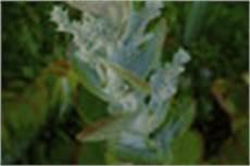 Gummibaum Ableger Ziehen