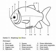 Morfologi Ikan Bawal Colossoma Macropomum Cara
