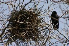 welcher vogel baut welches nest 191 qu 233 comen los cuervos respuestas tips