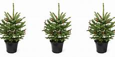 quot ein weihnachtsbaum ist keine zimmerpflanze quot weihnachten