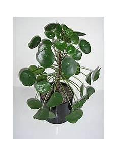 Einblatt Lässt Blätter Hängen - file peperomioides 07 jpg wikimedia commons