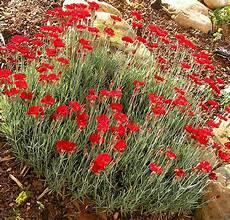 fleurs rouges vivaces ombre