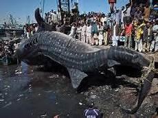 Ikan Hiu Raksasa Terbesar Di Dunia Alam Mentari
