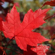Acer Autumn Blaze Maple Tree Mail Order Trees