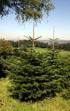 weihnachtsbaum im netz lassen christbaumhof horgenberg der traum vom schweizer