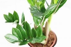 Zz Plant Zamioculcas Zamiifolia Aroid Palm How To Grow