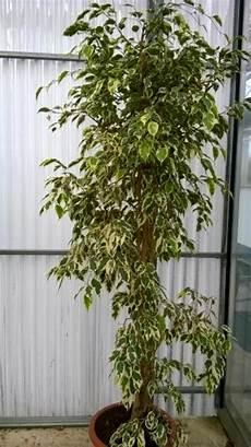 Ficus Benjamina Panach 233 Taille 150 175 Cm P10 2017