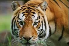 Harimau Serang Dan Tewaskan Petugas Kebun Binatang Spanyol