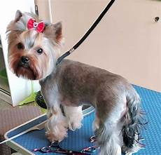 yorkie haircuts pictures summer cuts best yorkie haircuts for females 20 pictures the paws