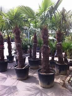 trachycarpus fortunei chinesische hanfpalme green4living