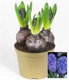 hyazinthe im topf blau 1a zimmerpflanzen kaufen