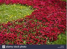 bellis perennis fleurs literie plantes vivaces dans