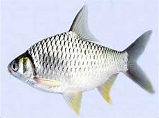 Gambar Ikan Tawes Hias Besar Harga Mahal