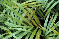foxtail palm diseases hunker
