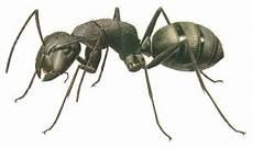 Sebuah Penantian Klasifikasi Semut Dan Hasil Pengamatan