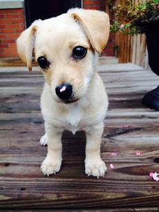 chihuahua mix welpen chihuahua terrier mix all you need to petdt