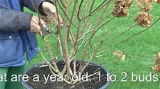 str 228 ucher schneiden bush cut hydrangea hortensie