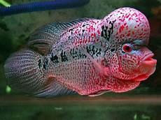 Menakjubkan 30 Gambar Ikan Louhan Kartun Gambar Kartun