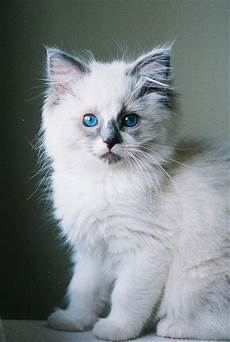 ragdoll à donner 35 best ragdoll cat images on baby kittens