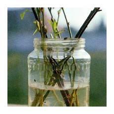 steckholz vermehrung vermehrung mit steckh 246 lzern