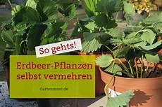 Erdbeer Ableger Ziehen Und Pflanzen Gartenmoni Altes