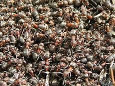 hausmittel gegen ameisen im garten hausmittel gegen ameisen in haus und garten garten