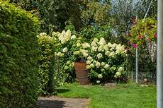 immergrüne pflanzen sichtschutz str 228 ucher als sichtschutz 187 diese geh 246 lze eignen sich