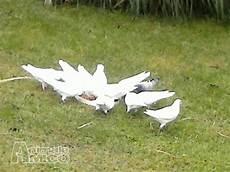 cerco animali da cortile in regalo vendita colombi da privato a firenze animali da cortile