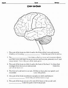 human the nervous system worksheet by sweet d tpt