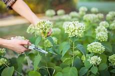 hortensien pflege f 252 r gesunde 252 ppige bl 252 ten plantura