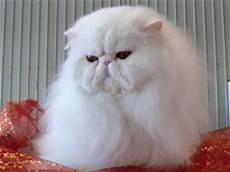 gatti persiani gattipersiani it gatti persiani