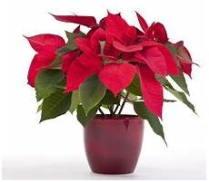 Weihnachtsstern Pflanze Wirkungsvoll Vernichten Jedoch