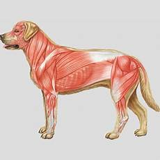 Dog Muscle Chart Bodypartchart Dog Muscular System Anatomical Charts