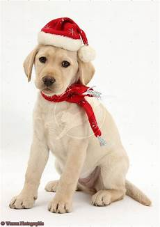christmas yellow lab merry christmas card puppy holiday dogs santa claus dog puppies