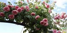 taille des rosiers grimpants en d 233 tails jardipartage