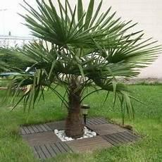 pot pour palmier exterieur graines trachycarpus fortunei palmier chanvre jardins