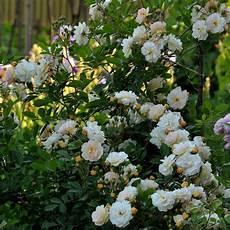 rosier ancien grimpant rosier ancien grimpant ghislaine de f 233 ligonde rosier