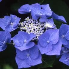 hortensia blaumeise pot de 3 litres 5 7 branches gamm