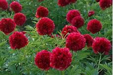 plantes vivaces rouges petites fleurs rouges vivaces vap vap