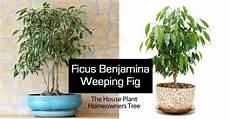 ficus benjamina tree weeping fig