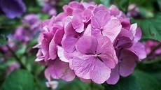 wann werden hortensien geschnitten hortensien trotz austrieb schneiden phlora de