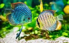 Aneka Jenis Ikan Hias Air Tawar Terindah Beserta Harganya