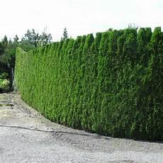 Thuja Lebensbaum Smaragd Thuja Occidentalis Smaragd