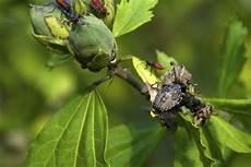 punaise de jardin 27627 insectes en photo ou macro dans la nature