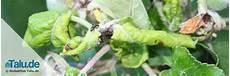 orchideen läuse klebrig schildl 228 use erfolgreich bek 228 mpfen mit diesen 11 mitteln