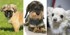 bar a chien lille chiens voici les races qui vivent le plus longtemps la