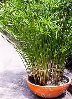 Image Result For Papyrus Plant Plants Plants Garden