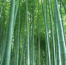 Chinesischer Riesenbambus Moso Bambus Ca 50 Samen