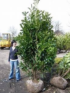 prunus laurocerasus caucasica kirschlorbeer caucasica